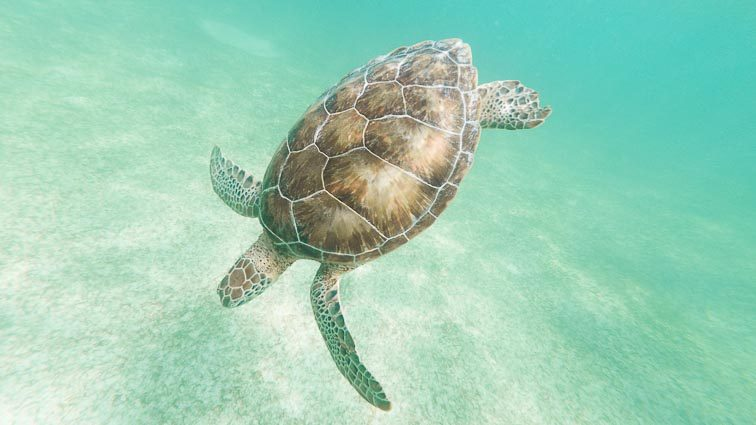 Turtle in Akumal, Mexico