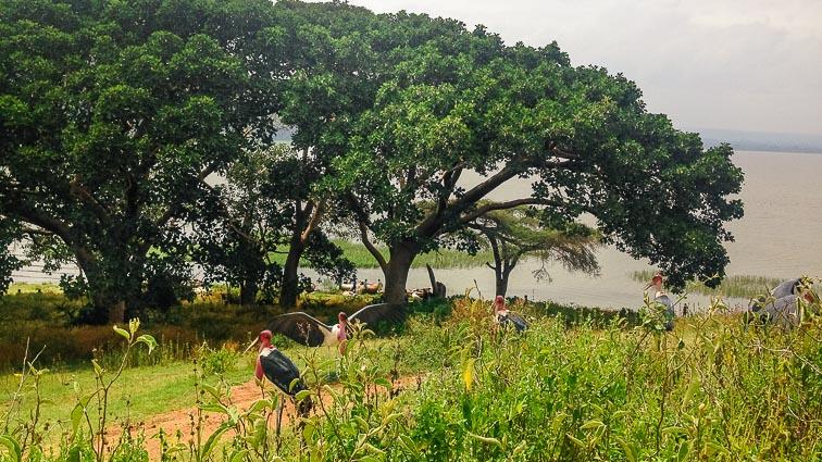 Large birds in Awasa