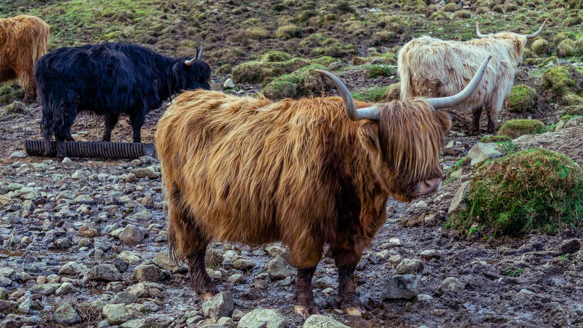 Highland Cow on our Scotland road trip