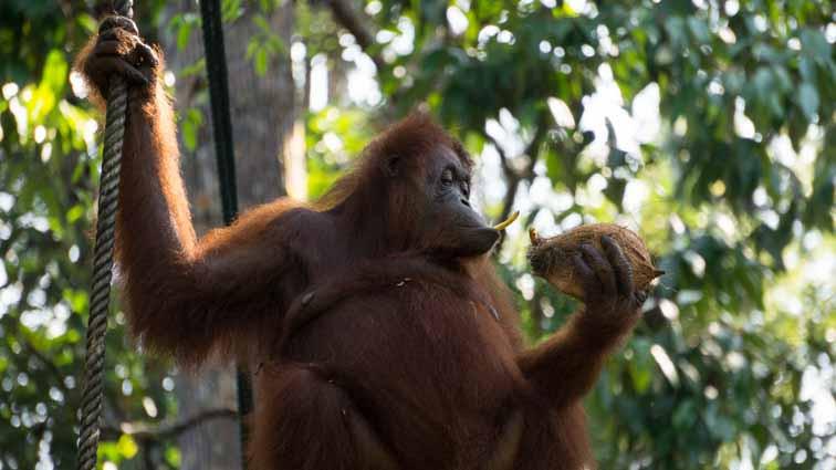 Orangutans in Semenggoh